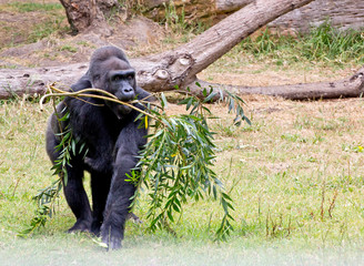 Silverback Gorilla (Troglodytes gorilla) Carrying Trees