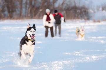 Siberian husky walking on snow