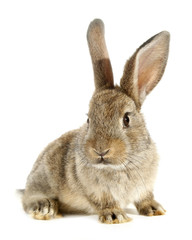 Rabbit bunny isolated on white background