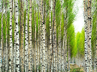 Aluminium Prints Birch Grove Birch trees in spring