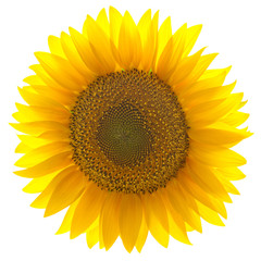 Single sunflower isolated on white background
