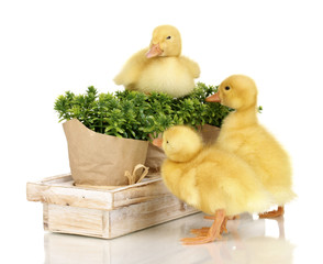 Duckling and bushes isolated on white