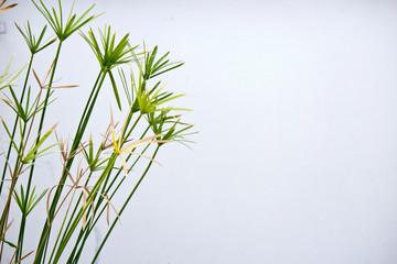 Cyperaceae white background.