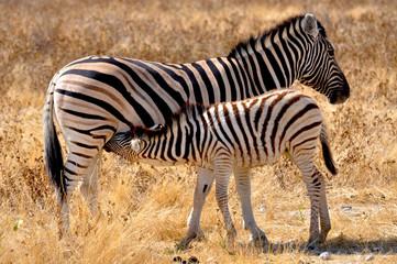 Zebra Mutter und Kind