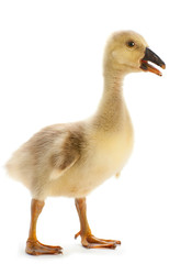 Young goose