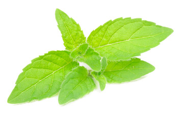 Fresh Peppermint Herb Isolated on White Background