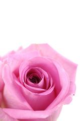 Macro image of dark rose