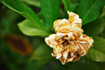 Wilted White Flower