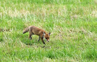 junger Fuchs auf Mäusejagd
