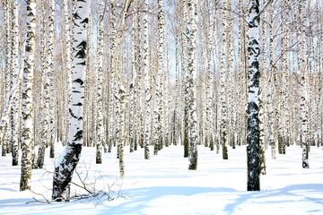 Keuken foto achterwand Berkbosje April birch grove in sunlight