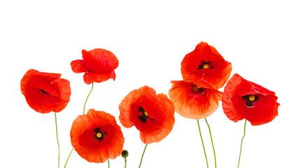 Obraz red poppies - fototapety do salonu