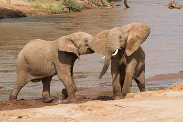 African Elephants Play Fighting in river
