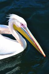 schwimmender Pelikan