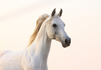 Wall Mural - white horse in sunset