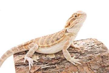 Cute Bearded Dragon Sitting