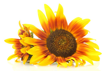 beautiful sunflowers , isolated on white.