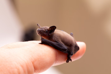 Baby Bat Sitting On Finger Wall mural
