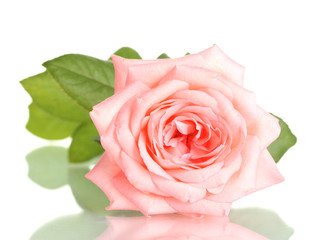 Pink rose isolated on white.