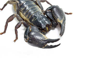 Emperor Scorpion, Pandinus imperator, on white background