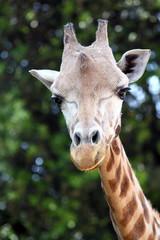 Autocollant pour porte Girafe Closeup of a giraffe (Giraffa camelopardalis)