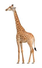 Giraffe walking on a white background