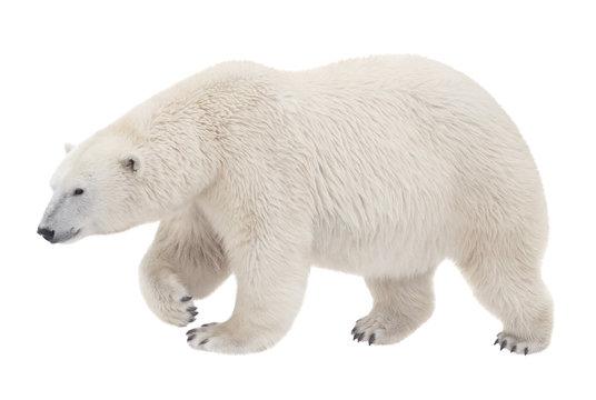 bear walking on a white background