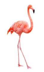 Aluminium Prints Flamingo Bird flamingo walking on a white background