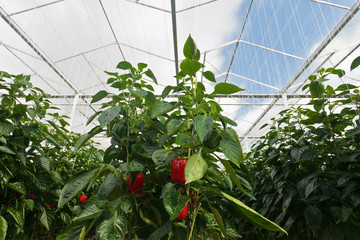 Red bell peppers growing inside a greenhouse