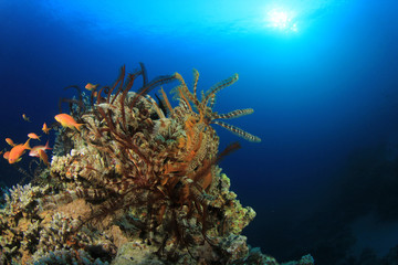 Feather Stars on Coral Reef