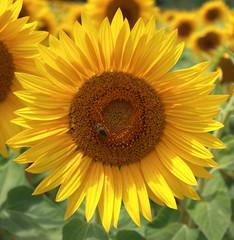 Fleur de tournesol butinée par une abeille