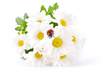 Photo sur Aluminium Coccinelles White flowers, field camomiles with ladybug