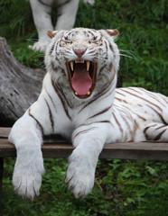 White Tigress Is Yawning
