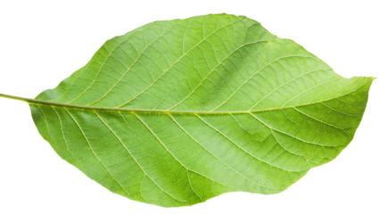 A close up shot of a hazel leaf