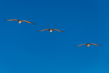 Three pelicans flying in diagonal formation