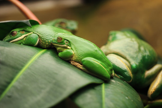 sleeping frogs