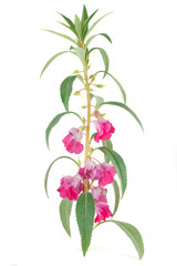 Obraz Blooming of  Impatiens balsamina isolated on white - fototapety do salonu