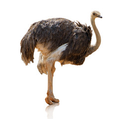 Potrait Of An Ostrich