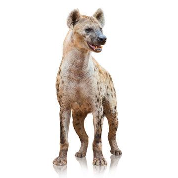 Portrait Of A Hyena