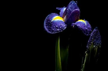 luminous iris