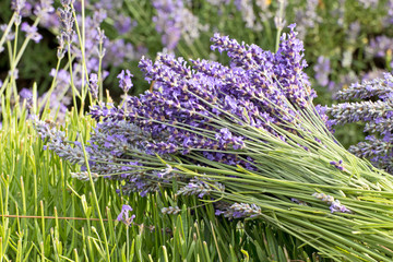 Lavender Flower Bunch in The Field