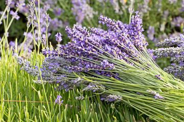 Lavender Flower Bunch in The Field