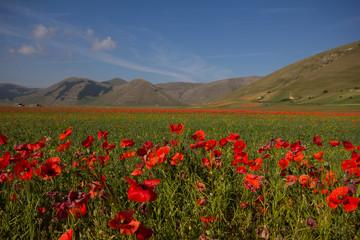 Foto op Canvas Toscane Field of poppies