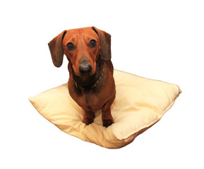 Isolated Picture of Miniature Dachshund Sitting on Cushion