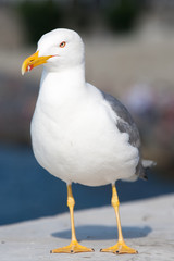 Seagull with beak closed