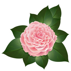Vector realistic camellia flower