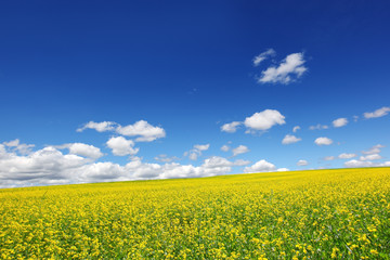 Wall Mural - Field of yellow rape against the blue sky