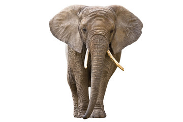 Photo sur Aluminium Elephant Elephant isolated on white