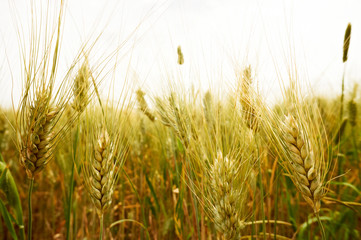 ripening ears of wheat field on the background of the setting su