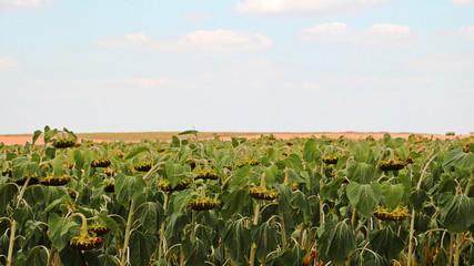 Foto auf AluDibond Kultur Mature sunflowers before harvest