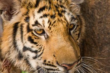 Close up of tiger face